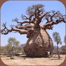 بزرگی تنه درخت بائوباب