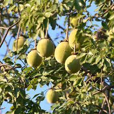 میوه های کوچک درخت بائوباب