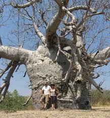 بزرگی تنه درخت بائوباب در قیاس با انسان