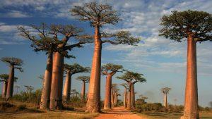 تصویری از چند درخت بائوباب