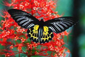 پروانه زیبای بال پرنده ای ماژلان در بررسی حیوانات فیلیپین