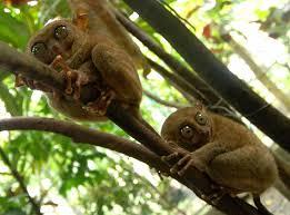 تصویر میمون شبگرد هندی در حیوانات فیلیپین