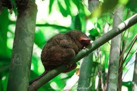 یک تارزایر خوابیده در حیوانات فیلیپین