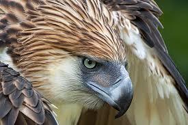 زیبایی و جلال عقاب فیلیپینی از نمونه حیوانات فیلیپین