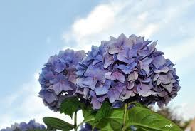 گل زیبای مخصوص منطقه دالات ویتنام