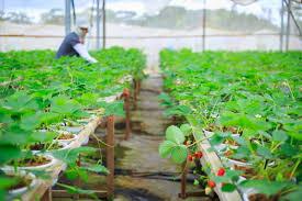 باغ ارگانیک BIOFRESH یکی از فروشگاه های دالات ویتنام