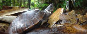 نمایی کامل از لاک پشت جنگلی فیلیپین در حیوانات فیلیپین