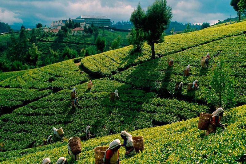 دیدن مراحل تهیه چای در مقاله مهم ترین شهرهای سریلانکا